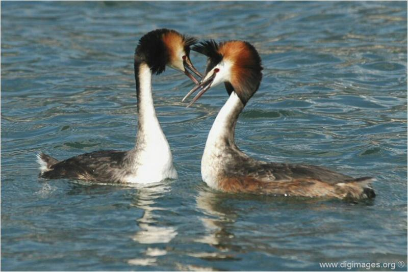Great Crested Grebe - Grèbes Huppés