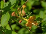 Orange Wild Azalea