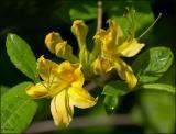 Yellow Wild Azalea