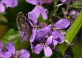 Bee on Phlox