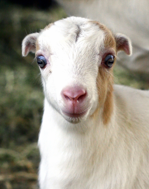 Lamancha Baby Goat look at the small ears!