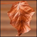 The dead leaf