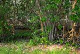 red mangrove swamp