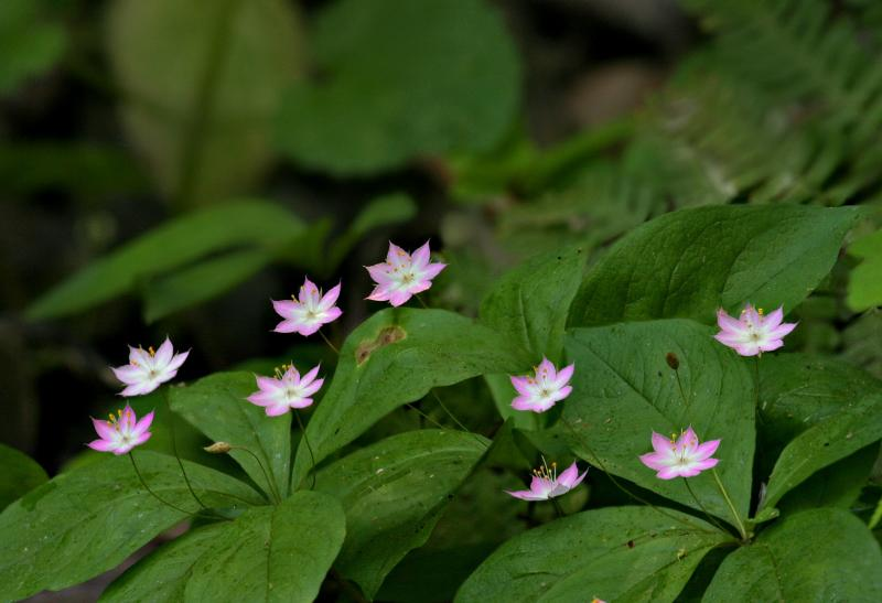 130   9 Pacific Star Flowers_8802,6,8-11,13-4,9DOF`0404101341.jpg