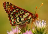 148   Butterfly on thistle_9209`0404161450.JPG