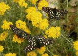 150   3 butterflies on Golden Yarrow_9274`0404211142.JPG
