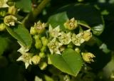 157   Coffee Berry flowers_9480`0404281421.JPG