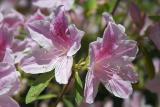 Pink Lillies.jpg