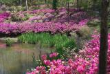 Purple Azaleas lake inlet 3.jpg