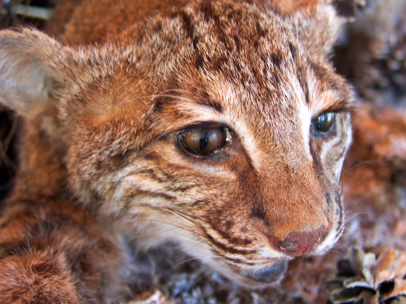 Bobcat on Display at the Nature Center