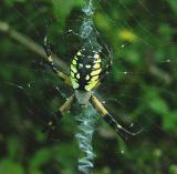 Female, dorsal, and web