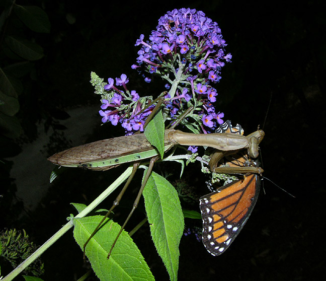 Chinese Mantid with Viceroy Butterfly Prey