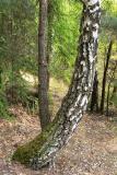 Tango trees
