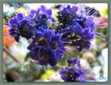 Fremont  or Parry Phacelia