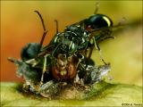 Picture winged fly being eaten by a small wasp