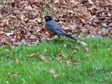 Robin.jpg(178)