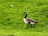 Proud Goose.jpg(259)