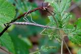 Walking Stick Female