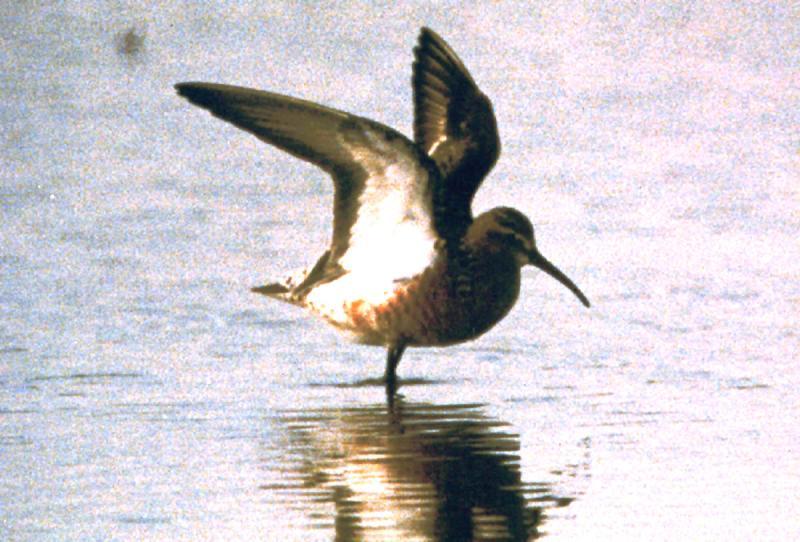 Curlew Sandpiper--TN - female alt. pl. - June 3-4, 1996