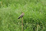 Red-winged Blackbird - pale female.