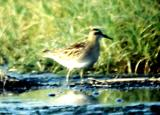Sharp-tailed Sandpiper -  TN - Sept. 12- 19, 1992
