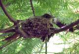 Acadian Flycatcher - odd nest