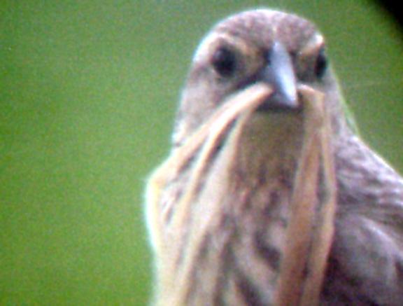 Red-winged Blackbird - pale head