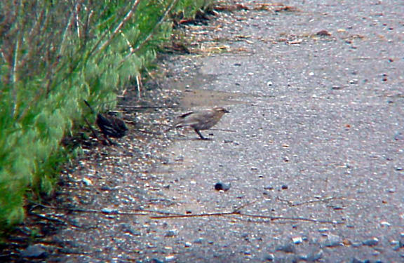Red-winged Blackbird - pale with normal bird