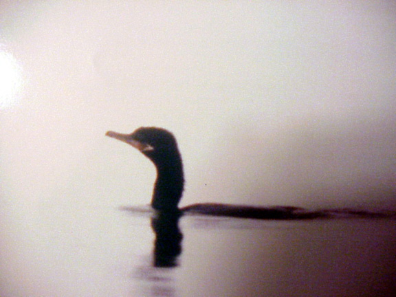 First Neoptropic Cormorant  for ARK.