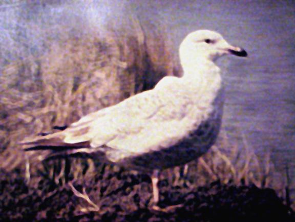 Slaty-backed Gull - MS.  Feb - 1993