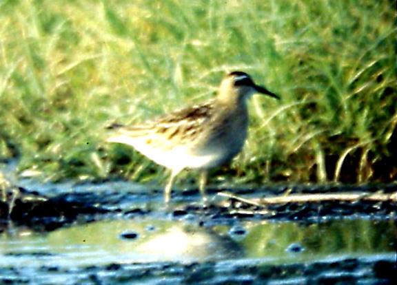 Sharp-tailed Sandpiper -  TN - Sept. 12- 19, 1992