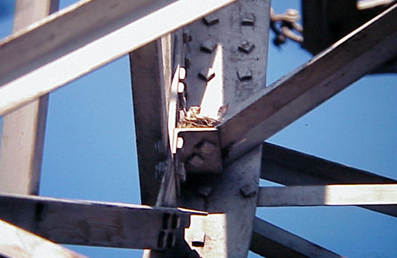 Western Kingbird - 1st successful nest - TN