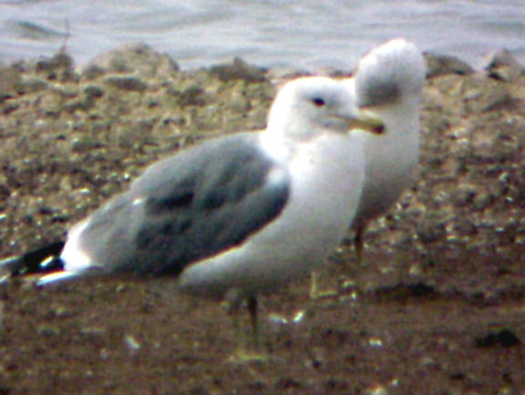California Gull - TN - 2-25-04