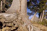 Templar's Tree of Life