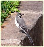 African Pied Wagtail (Bergeronnette pie)