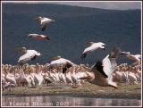 Great White Pelican (Pélican blanc)