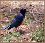 Hildebrandt's Starling (Choucador de Hildebrandt)