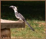 Jackson's Hornbill (Calao de Jackson)