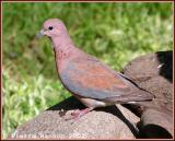 Laughing Dove (Tourterelle maillée)