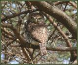 Pearl-spotted Owlet (Chevêchette perlée)