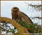 Tawny Eagle (Aigle ravisseur)