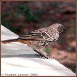 Rufous-tailed Weaver (Histurgopse à queue rouge)