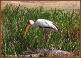 Yellow-billed Stork (Tantale ibis)