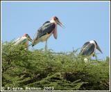 Marabou Stork (Marabou d'Afrique)