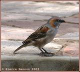 Rufous Sparrow (Moineau roux)