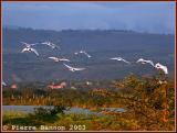 Sacred Ibis (Ibis sacré)
