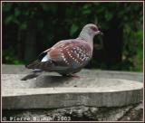 Speckled Pigeon (Pigeon roussard)