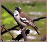 White-browed Sparrow-weaver (Mahali à sourcil blanc)