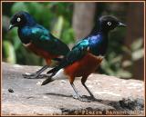 Superb Starling (Choucador superbe)