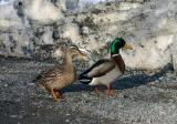 Dirty Snow Ducks